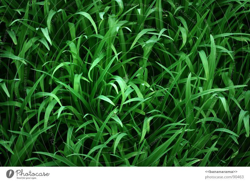 GreenGrass Natur grün Pflanze Wiese Gras Garten Park Rasen Schilfrohr Halm