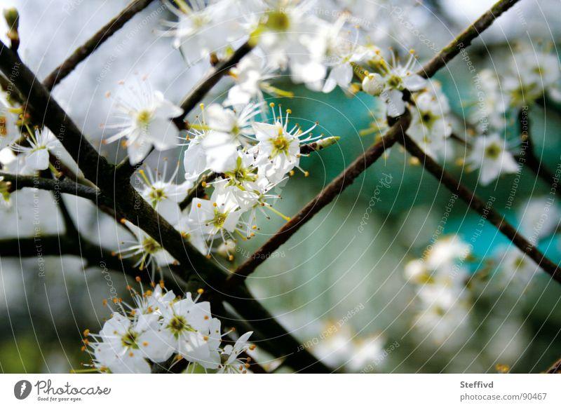 Blütenzaun Natur Frühling Garten Zaun Rost Pollen aufwachen