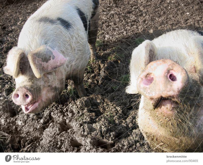 Piggeldy und Frederik Tier Glück dreckig Tierpaar paarweise Neugier Bauernhof Säugetier Stolz Schwein Schnauze Viehzucht Sau Sehvermögen Glücksbringer