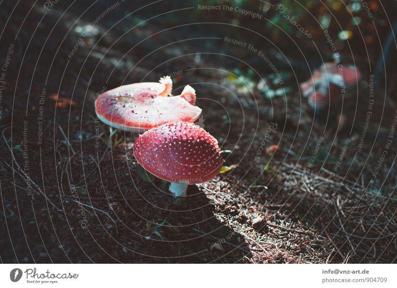 Fliegenpilz Umwelt Natur Herbst Schönes Wetter Pflanze Wildpflanze Wald braun rot Gift herbstlich Waldboden Farbfoto Außenaufnahme Menschenleer