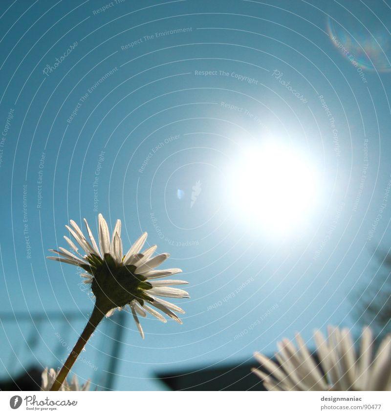Lass die Sonne rein. Himmel weiß Blume blau Sommer Blüte Frühling Garten Wärme hell Beleuchtung frei Beginn verrückt frisch Wachstum