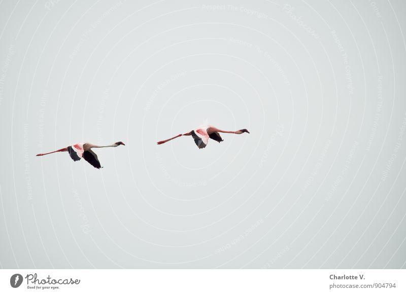 Synchronfliegen Himmel Ferien & Urlaub & Reisen Tier schwarz kalt Freiheit oben rosa Zusammensein elegant Wildtier hoch ästhetisch einfach Unendlichkeit