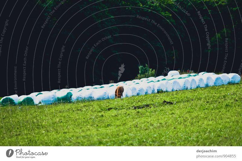 Schräger Tag der Kuh Ferien & Urlaub & Reisen schön Sommer Erholung Landschaft Freude Tier Wiese Gras lustig braun Deutschland authentisch stehen wandern