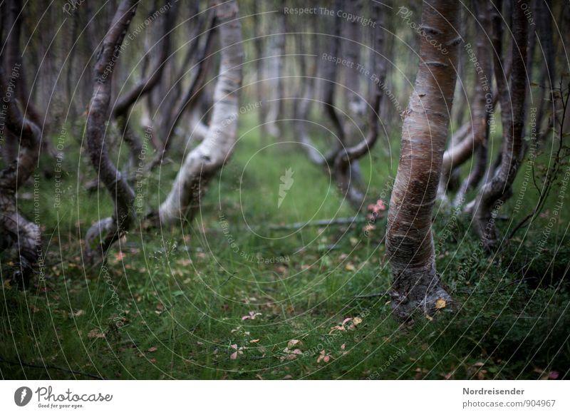 Birken Natur Pflanze Sommer Baum Landschaft dunkel Wald Wege & Pfade außergewöhnlich träumen Idylle einzigartig rein bizarr Surrealismus Birke