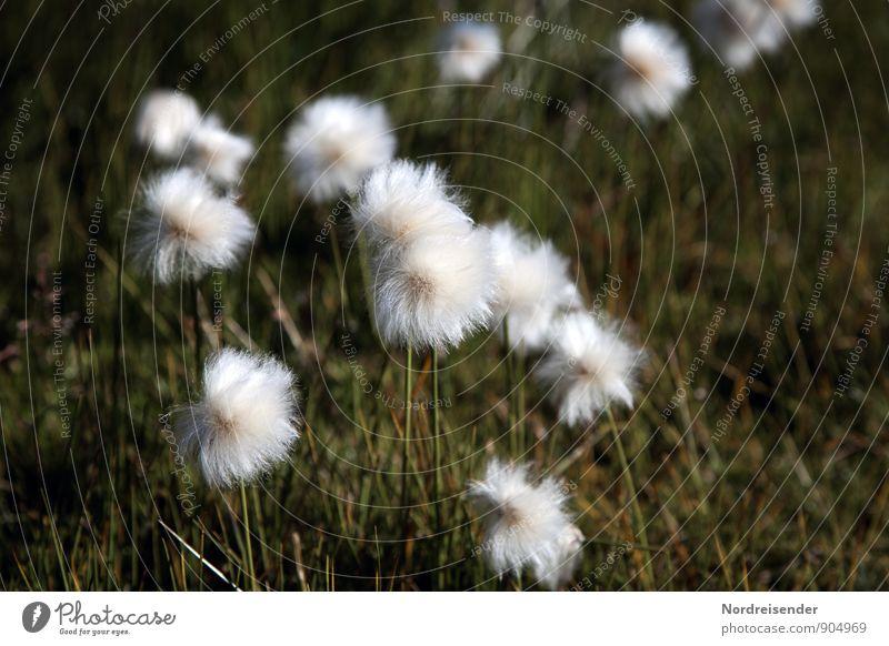 Puschels Leben Sinnesorgane ruhig Natur Landschaft Pflanze Sommer Gras Wildpflanze Moor Sumpf Freundlichkeit frisch natürlich grün weiß Warmherzigkeit Stimmung