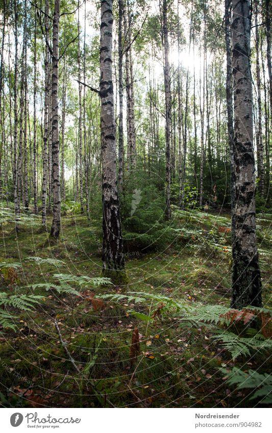 Birken Landwirtschaft Forstwirtschaft Natur Landschaft Pflanze Sonne Sommer Schönes Wetter Baum Wald glänzend Erholung Waldboden Birkenwald Farn Schweden