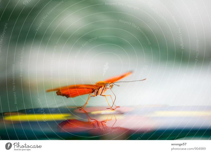 fliegen | Tankstelle Tier Schmetterling Insekt 1 Fressen exotisch schön klein orange Nahaufnahme Essen orange-rot Schmetterlingshaus Innenaufnahme Menschenleer