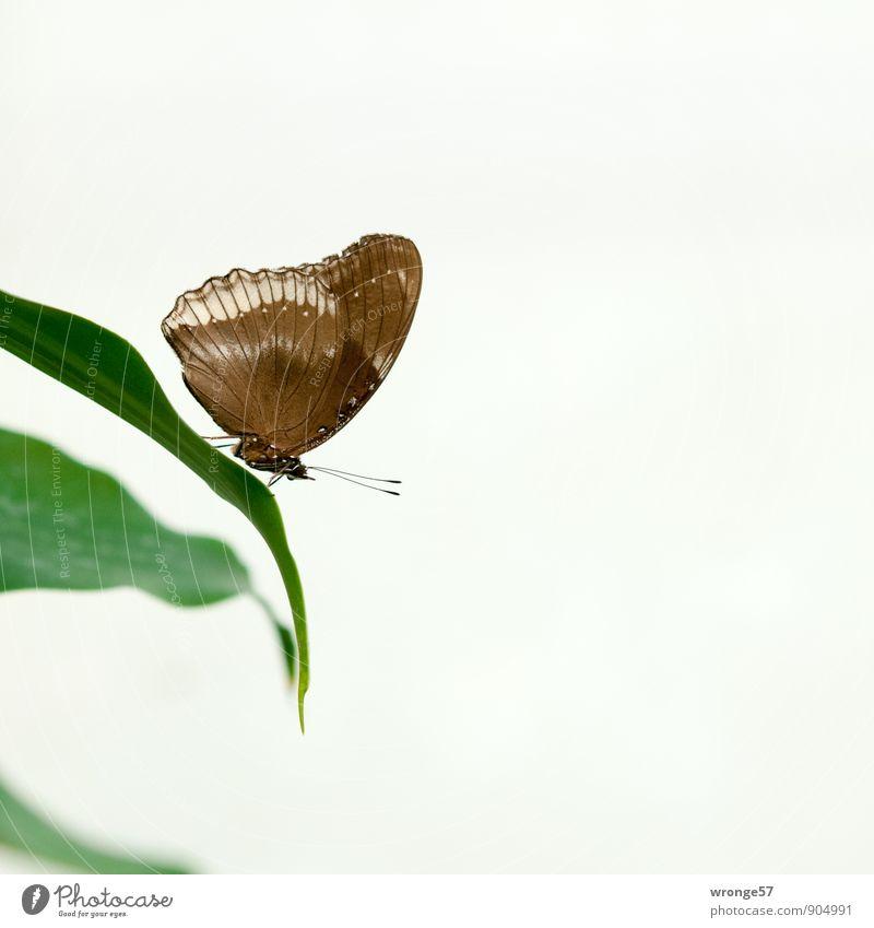 Ruhezone Blatt Grünpflanze Tier Schmetterling Insekt 1 schön braun grün exotisch filigran Farbfoto Gedeckte Farben Innenaufnahme Nahaufnahme Menschenleer