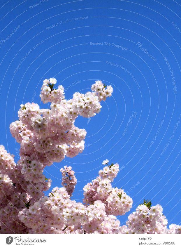 Es blüht! Natur Himmel Baum blau Blüte Frühling Garten Park rosa