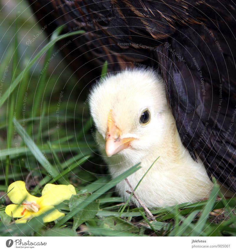 Geborgensein Natur schön Einsamkeit Tier Tierjunges außergewöhnlich blond Feder niedlich Schutz Sicherheit Haustier Geborgenheit Nutztier Haushuhn