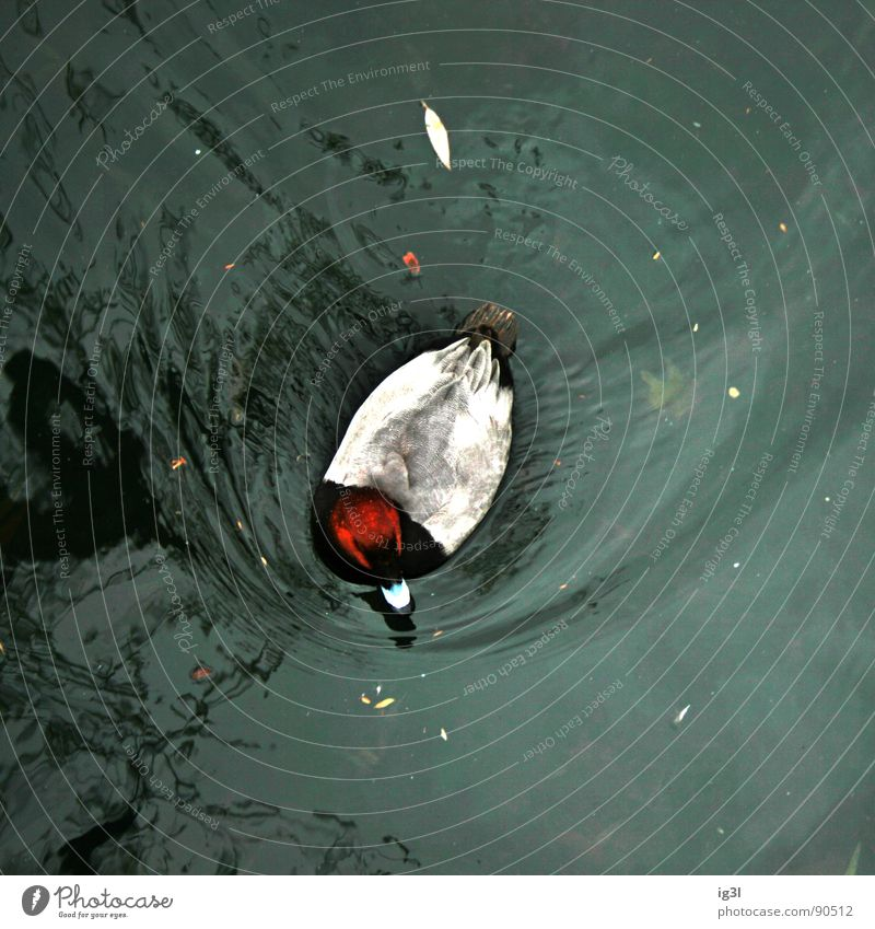 als ich übers wasser lief Wasser Tier Leben Bewegung Vogel Wellen Zoo Quadrat Dynamik leicht Ente Strömung ertrinken Wasseroberfläche