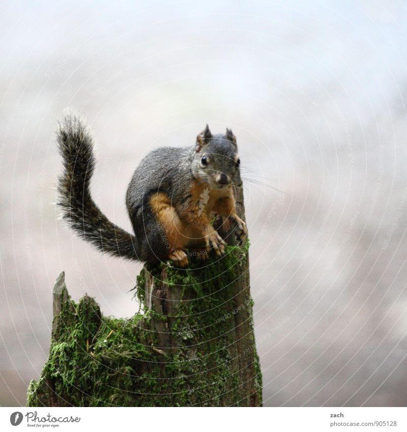 Nüsse? Welche Nüsse? Pflanze Baum Moos Baumstumpf Baumstamm Tier Wildtier Tiergesicht Fell Krallen Pfote Schwanz Nagetiere Eichhörnchen 1 Fressen füttern sitzen