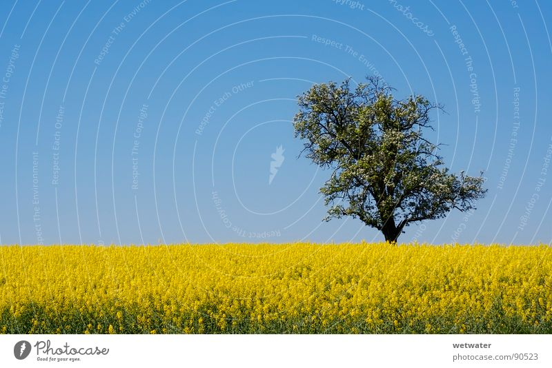 field of gold Feld gelb Kraichgau Raps Wiese Baum Himmel Natur springen Frühling tree blue sky sunny