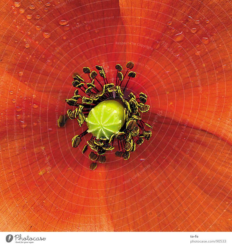 Mohn rot Blume Frühling Blüte Mohn Pollen Blütenblatt Lupe vergrößert Klatschmohn
