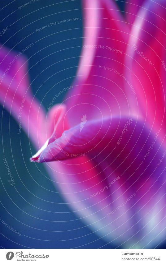 sure that I'm nice? schön Blume blau Ferne Blüte Frühling rosa Ecke nah bedrohlich Spitze Freundlichkeit trocken Tulpe unklar Täuschung