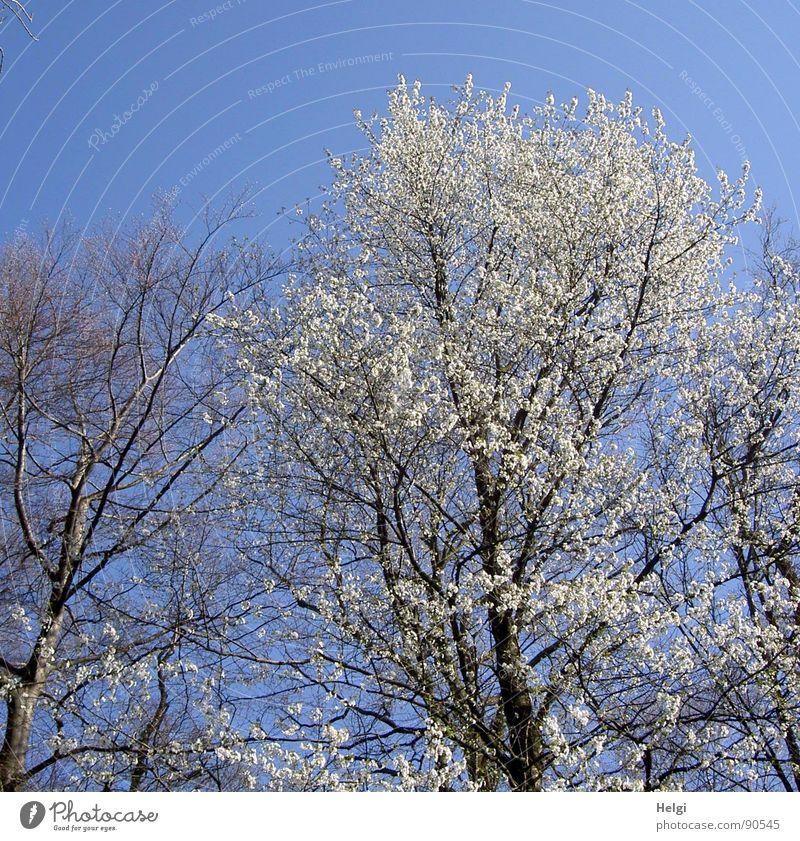 ...noch ein blühender Baum... Natur schön Himmel weiß Baum Blume blau Blüte Frühling Landschaft braun Zusammensein wandern gehen laufen hoch