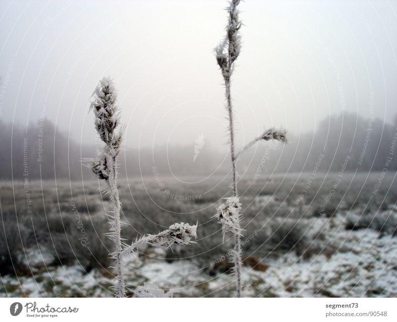 2 Halme Gras Feld Wiese Eiszeit Nebel ruhig rein Unschärfe Raureif groß klein dünn Winter Sportveranstaltung Konkurrenz Idylle Frost schön Natur Morgentaus