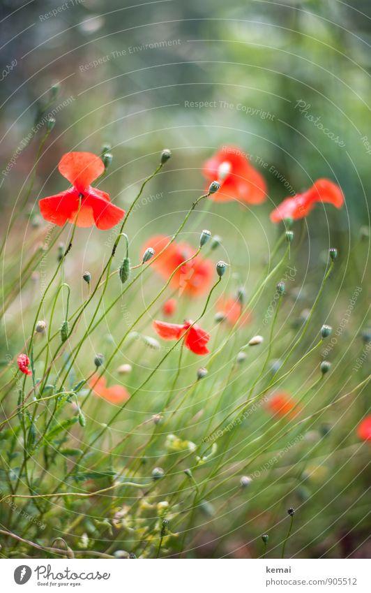 Rotgrün Umwelt Natur Pflanze Sonnenlicht Sommer Schönes Wetter Blume Gras Blüte Wildpflanze Mohn Mohnblüte Mohnkapsel Wiese Blühend Wachstum ästhetisch frisch