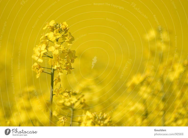 Gölb 1 Raps gelb Umwelt regenerativ Pflanze Feld ökologisch Frühling Erdöl Energiewirtschaft Natur