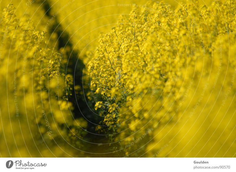 Gölb 2 Raps gelb Umwelt regenerativ Pflanze Feld ökologisch Frühling Erdöl Energiewirtschaft Natur Furche