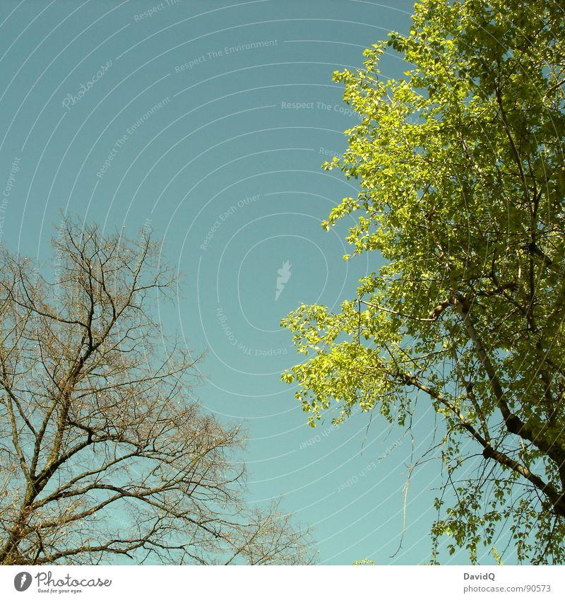 Linde hat mal wieder verpennt... Natur Baum blau Blatt Frühling frisch Wachstum Ast Blütenknospen Brandenburg Potsdam Jungpflanze