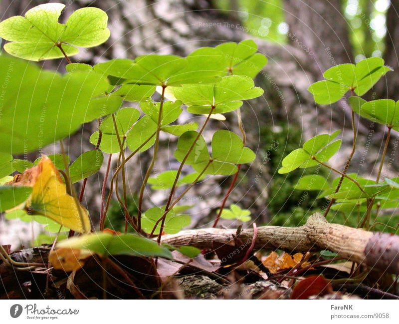 Klee grün Pflanze Wald