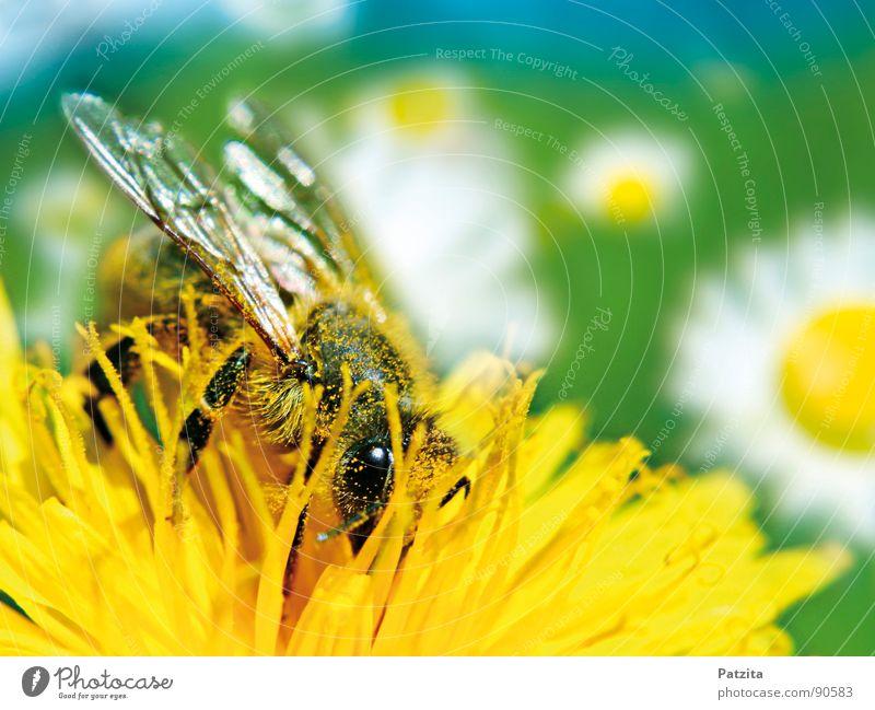 Sowas von Frühling Biene Blume Löwenzahn Sammlung Sommer Honig Makroaufnahme Wiese Blumenwiese Gänseblümchen fleißig Blüte Pollen gelb grün weiß Nahaufnahme