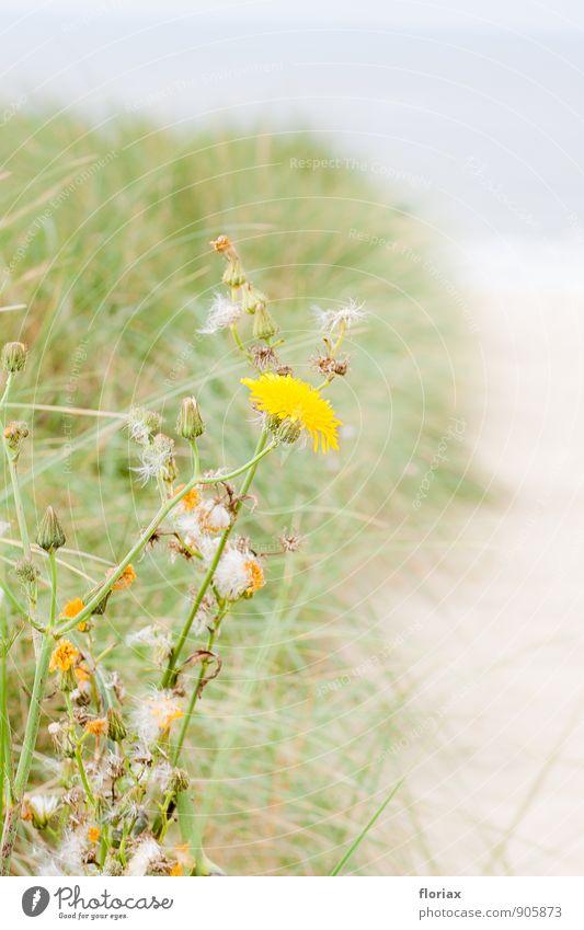 hinüber zum meer III/III Natur Ferien & Urlaub & Reisen Pflanze Erholung Meer Blume Strand Ferne Umwelt gelb Blüte Gras Glück Freiheit Sand Tourismus