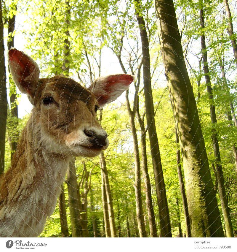 sweet bambi Natur grün Baum Tier Wald braun Angst süß Wildtier Ohr zart Ast Fell hören Säugetier Respekt