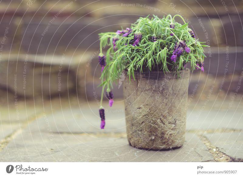 hängelavendel alt Pflanze grün rosa violett Krankheit Duft Müdigkeit mediterran Grünpflanze welk verblüht Lavendel Topfpflanze hängend schlaff