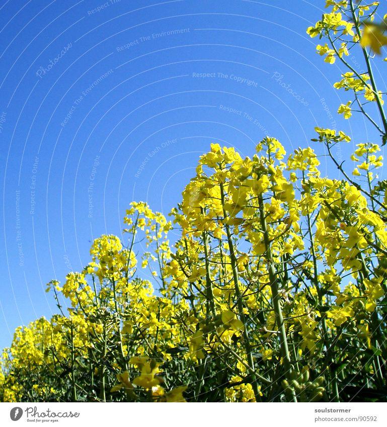 La colza I Raps Pflanze gelb grün Frühling Feld Rapsfeld Landwirtschaft Honig Biene Blüte Blume ökologisch Froschperspektive unten Knie Erdöl blau Amerika