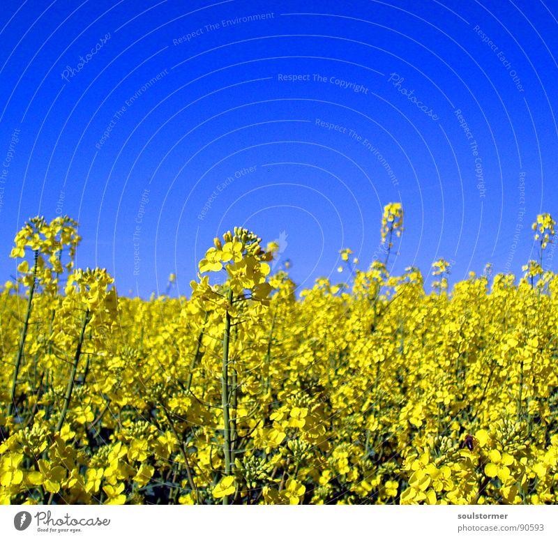 La colza II Raps Pflanze gelb grün Frühling Feld Rapsfeld Landwirtschaft Honig Biene Blüte Blume ökologisch Tiefenschärfe Mitte Erdöl blau Amerika Himmel
