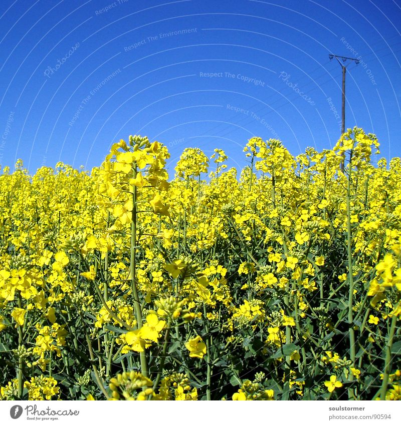 La colza III Raps Pflanze gelb grün Frühling Feld Rapsfeld Landwirtschaft Honig Biene Blüte Blume ökologisch Strommast Elektrizität Quadrat Erdöl blau Amerika