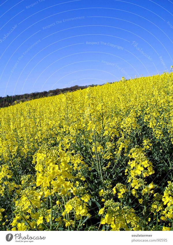 La colza IV Raps Pflanze gelb grün Frühling Feld Rapsfeld Landwirtschaft Honig Biene Blüte Blume ökologisch Wald Erdöl blau Amerika Himmel Schönes Wetter