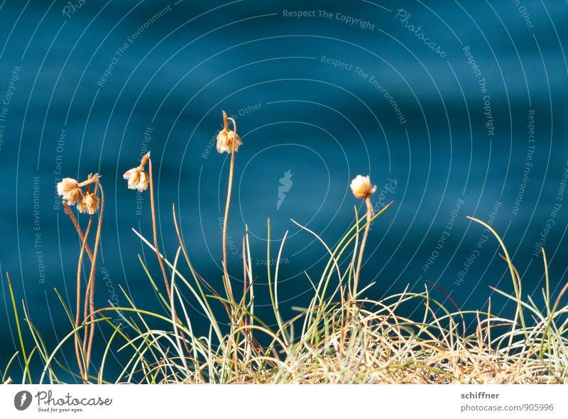 Blumenmeer blau Pflanze Wasser Meer Gras Hintergrundbild Wellen Bucht trocken zart dünn Stengel vertrocknet Atlantik Grasnarbe