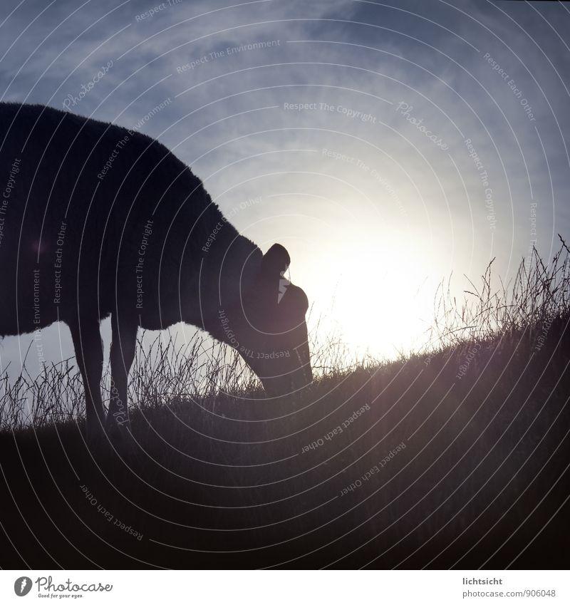 gleich übern Deich Natur Landschaft Himmel Sonne Schönes Wetter Gras Wiese Hügel Küste Nordsee Tier Haustier Nutztier 1 blau schwarz Idylle Landleben Schaf