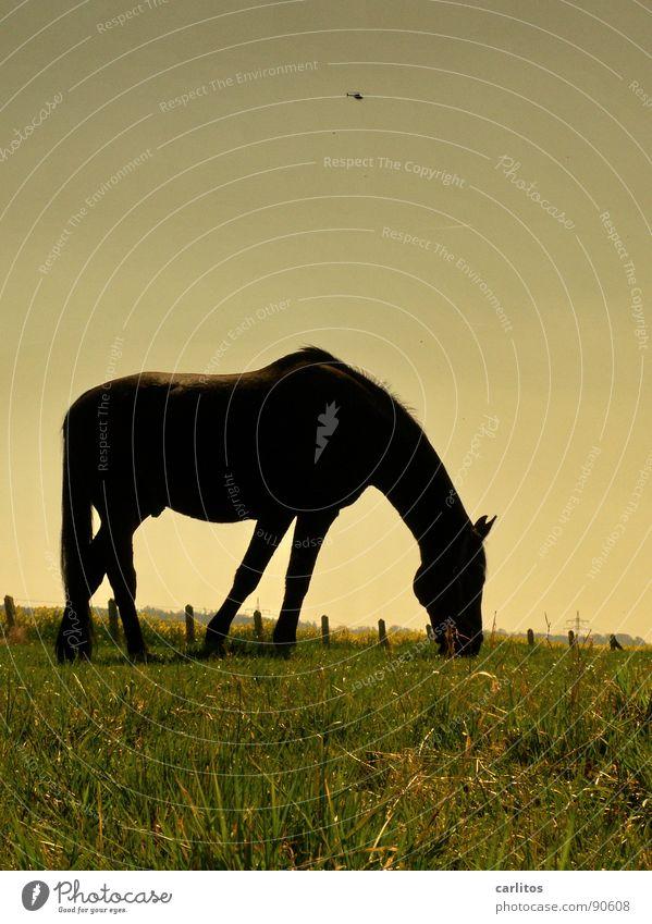 Hubschrauber Tier Wiese fliegen Pferd Weide Zaun Langeweile Fressen Rettung Mähne Almosen Hubschrauber Rotor Nüstern Veterinär Weißabgleich