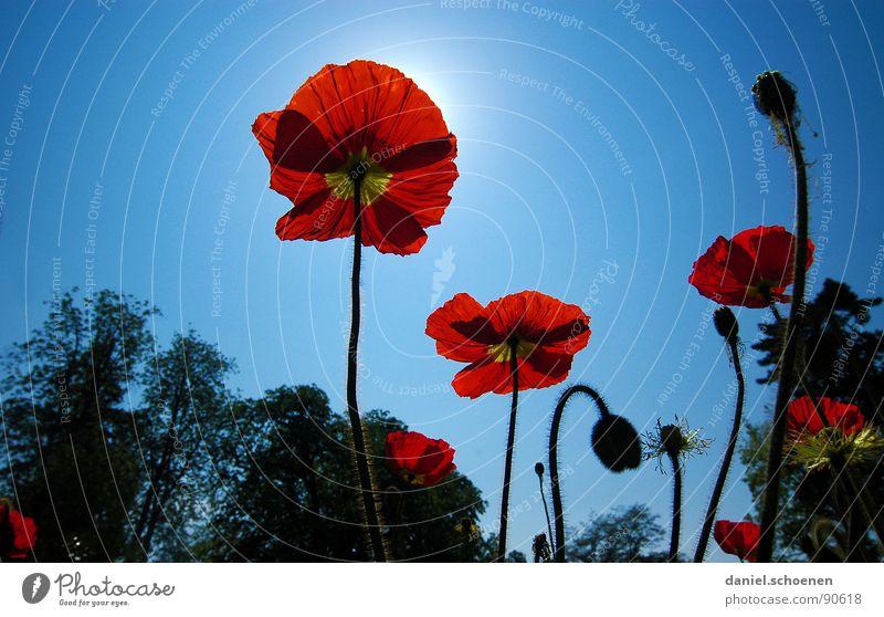 leuchtender Mohn Klatschmohn rot Sommer Frühling Blume Blüte hell-blau zyan Silhouette Sonne Himmel Perspektive Schönes Wetter Blütenknospen Natur Außenaufnahme