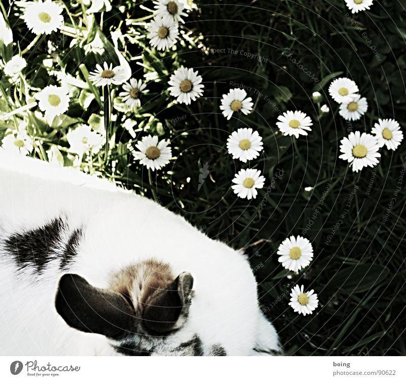 Hasenrücken Natur weiß grün Tier Wiese Gras Frühling Angst nah Ohr Frieden Fell Neugier hören Mut