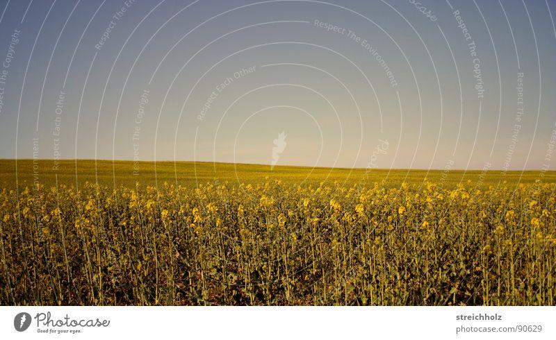 Himmelsfeld 2 Raps Ähren Feld Optimismus weiß Paradies Bauersfrau Hoffnung Freiheit Weizenbier Perspektive Landwirtschaft Samen Pflanzer Bauernhof Wiese
