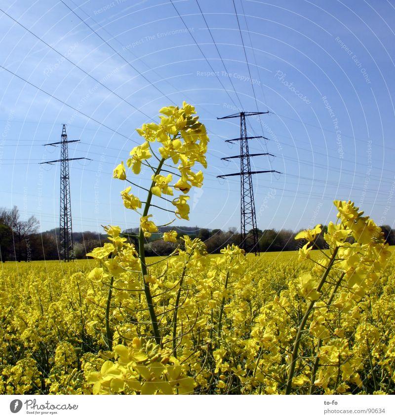 Biodiesel Raps Pflanze gelb grün Frühling Feld Rapsfeld ökologisch nachwachsender Rohstoff Landwirtschaft Honig Biene Blüte Erdöl Amerika Blühend
