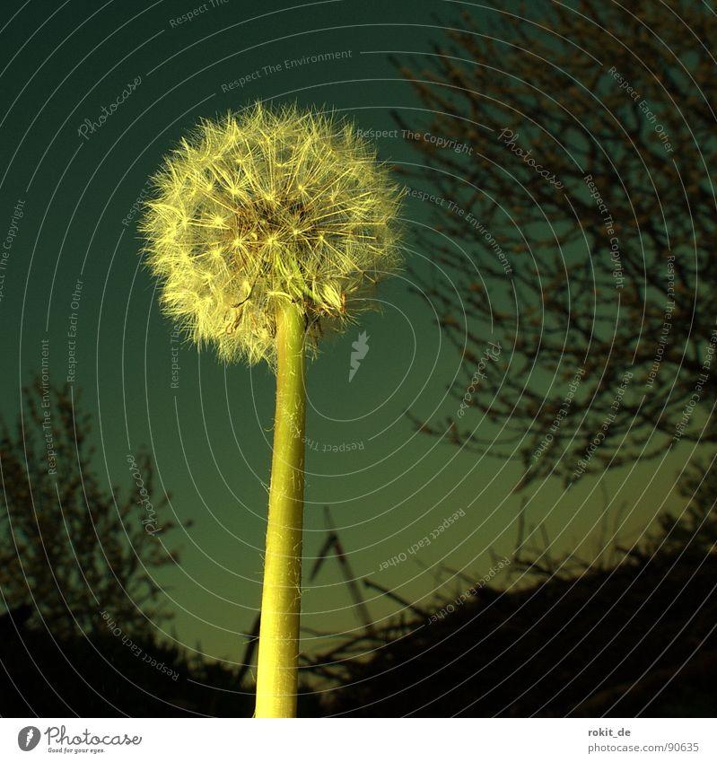 Los, puste mal! Löwenzahn Gegenlicht Nacht Wiese Abendsonne steil Sträucher Gras Feld Vergänglichkeit blasen Fallschirmspringer Horizont Frühling hell