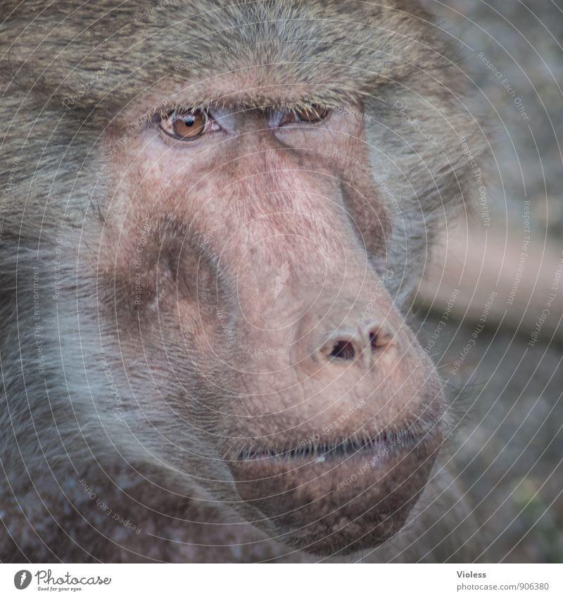 hmmm, lass mich nachdenken Tiergesicht Zoo beobachten bedrohlich braun Affen Menschenaffen Pavian Starrer Blick Tierporträt Blick in die Kamera