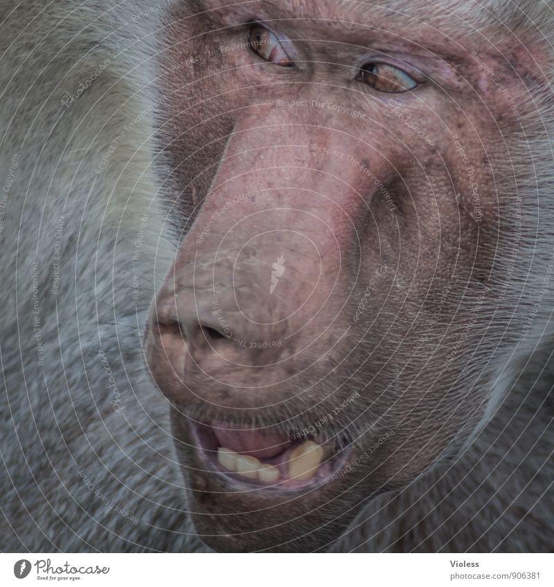 wer? der da hinten? Tier Zoo 1 beobachten Pavian Gesichtsausdruck Kopf Affen Menschenaffen Tierporträt Blick nach hinten