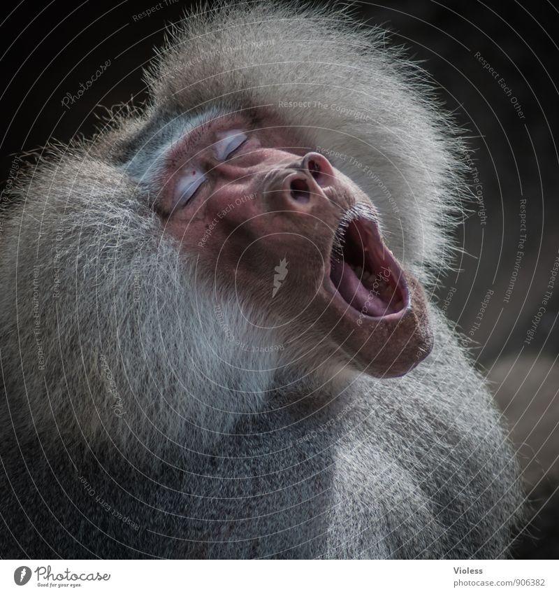 müde ... Wildtier Coolness Tiergesicht Müdigkeit Zoo Affen Pavian