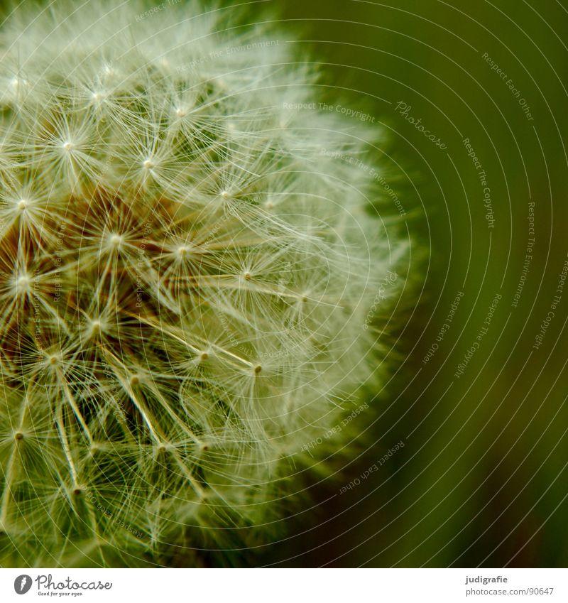 Wiese Löwenzahn Blume Sommer grün weiß leicht fein zart weich Korbblütengewächs rund Makroaufnahme Nahaufnahme Samen pappus Regenschirm schirmchen