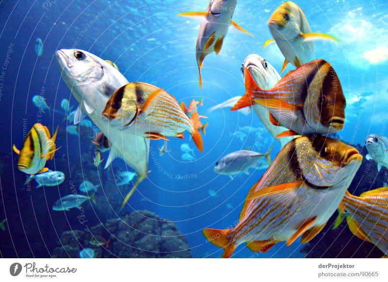 Fisch gibts Thunfisch Meer Portugal Aquarium buntes treiben Ozenarium EXPO 1998 Wasser Schwarm Becken Glasfassade langweiliges foto einfallslos