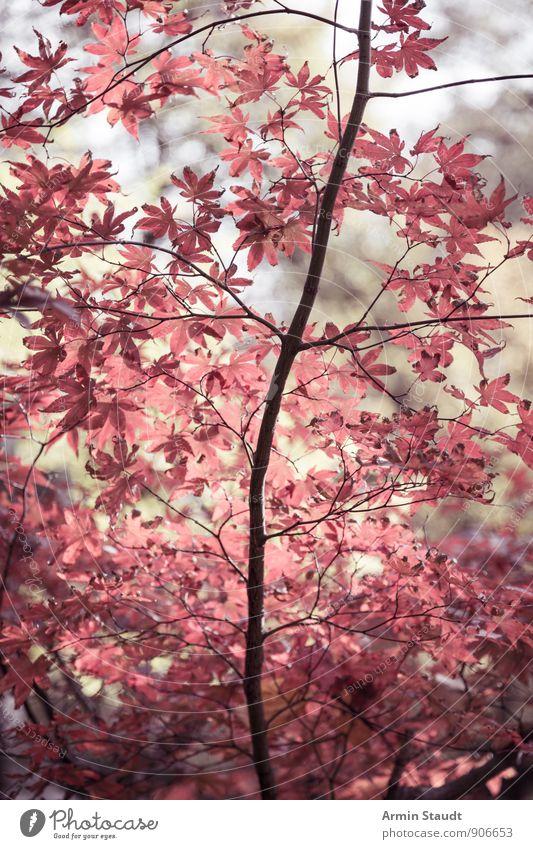 Asiatische Herbstblätter Natur Pflanze schön Baum rot Blatt dunkel Wald Leben natürlich Hintergrundbild Stimmung träumen Luft Park
