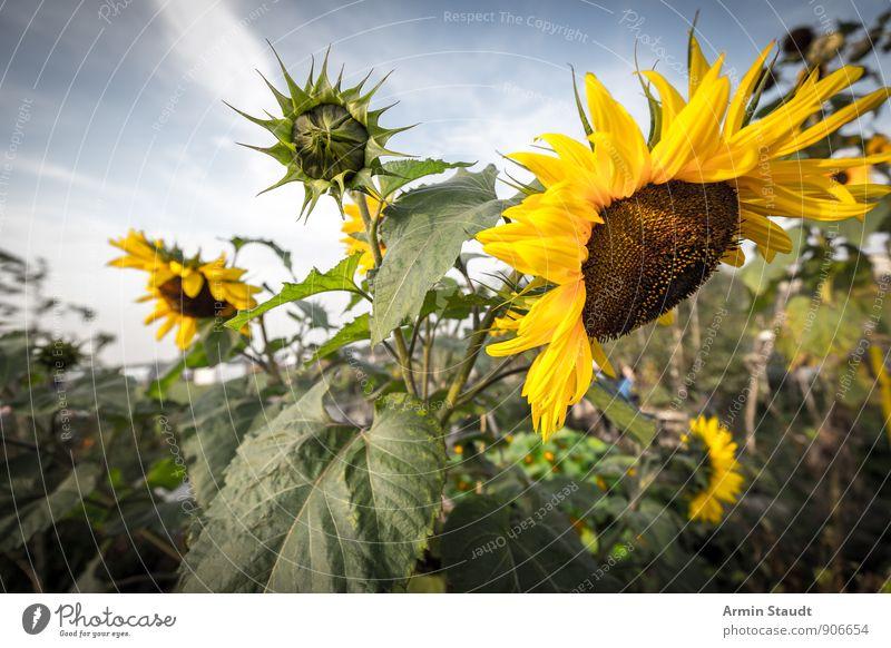 Sonnenblume Natur Pflanze Himmel Sommer Schönes Wetter Blume Nutzpflanze Garten Park Feld Blühend Wachstum ästhetisch authentisch natürlich schön gelb grün