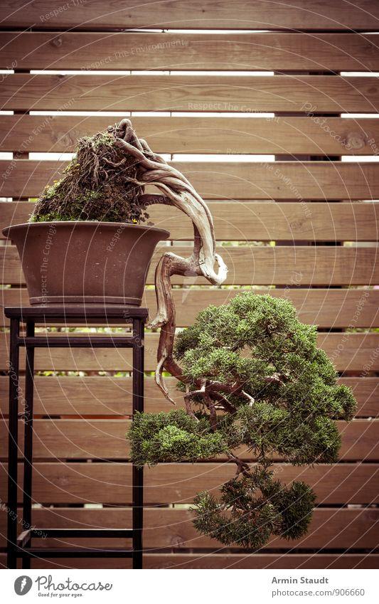 BONSAI! Tier Sommer Pflanze Baum Bonsai Kiefer Bretterzaun Holzwand alt stehen Wachstum ästhetisch authentisch außergewöhnlich schön braun grün Stimmung Kraft